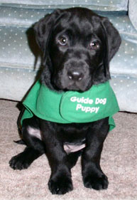 Adorable 9 week old black Lab puppy wearing a green Guide Dogs for the Blind Puppy in Training jacket. He's sitting looking at the camera with his big, black eyes.