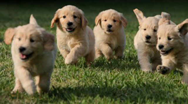 five adorable yellow puppies bounding across a green lawn