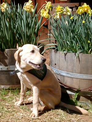 Doris, a beautiful yellow lab poses in front of some half barrels planted with yellow daffodils.