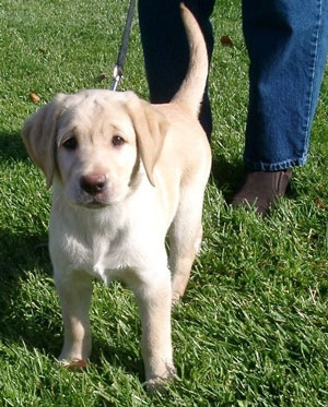 Doris, a little yellow Lab puppy 10 1/2 weeks old stands looking straight at you with intelligent, dark eyes.