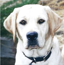 A yellow Lab puppy with root-beer-colored eyes gazes sweetly at you.