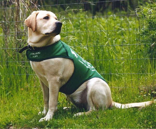 A yellow Lab puppy wearing her green Guide Dog Puppy in training jacket sits looking over her shoulder in tall green grass.