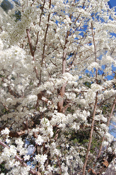 Plum Tree Blossoms 1