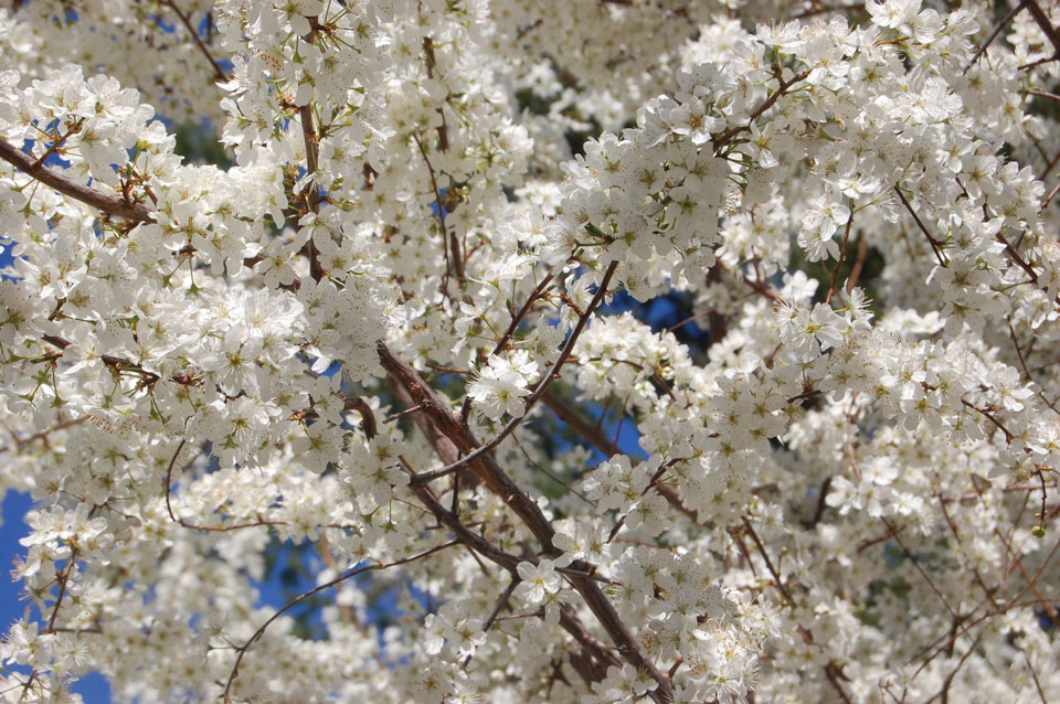 Plum Tree Blossoms 3
